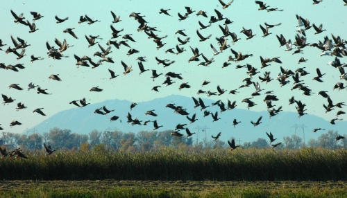 Geese rising, Yolo Bypass Wildlife Area (Photo by Wildlife Area Manager Dave Feliz).