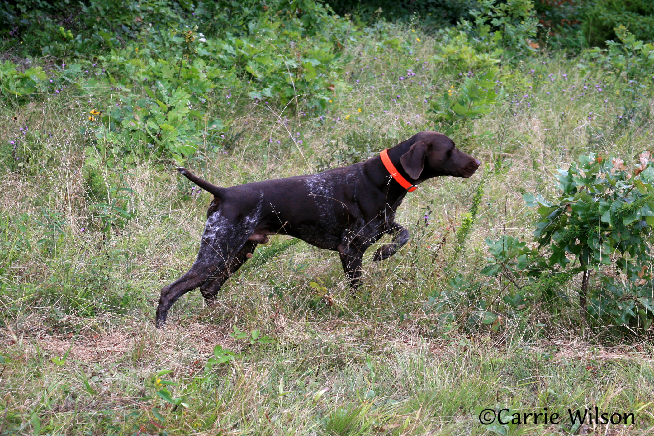 GPS Collars on Dogs While Hunting? | California Outdoors Q ...