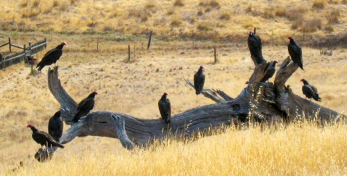 Hazing Turkey Vultures From Rooftop Roosts California