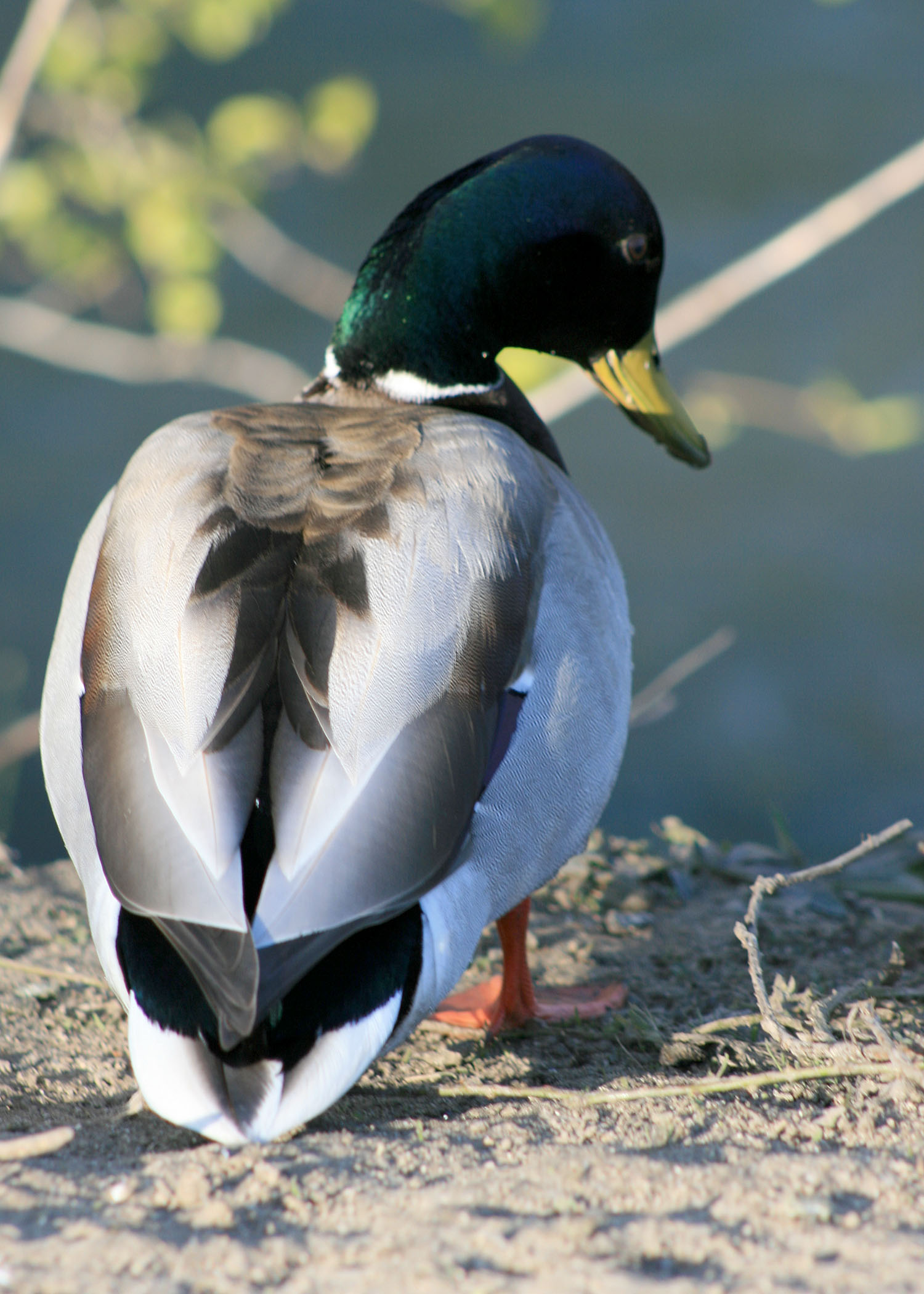 Moving Wing Waterfowl Decoys | California Outdoors Q and A