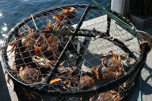 Dungeness crabs in crab trap