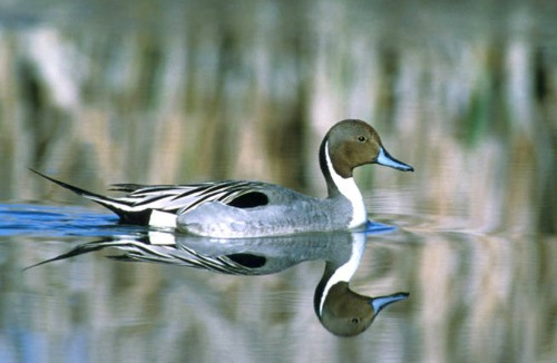 Pintail drake (USFWS photo)