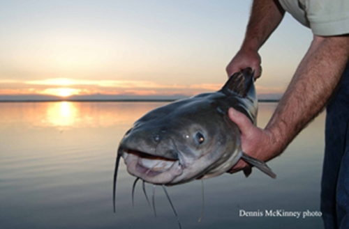 Channel catfish (Photo by Dennis McKinney, CDOW)