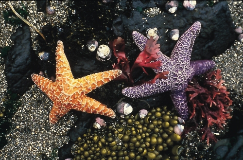 Sea Stars of the California Coast (CDFW photo)