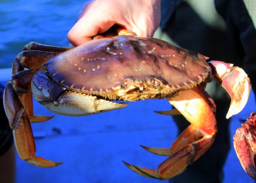 Dungeness crab (Photo by Carrie Wilson)