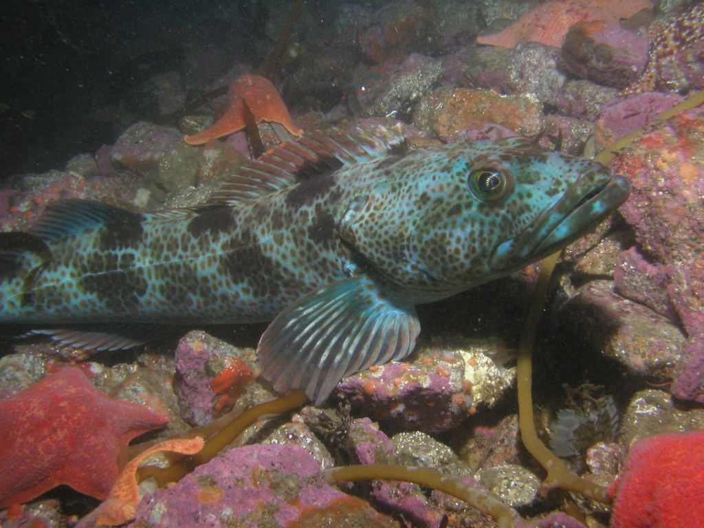 how to catch lingcod in california