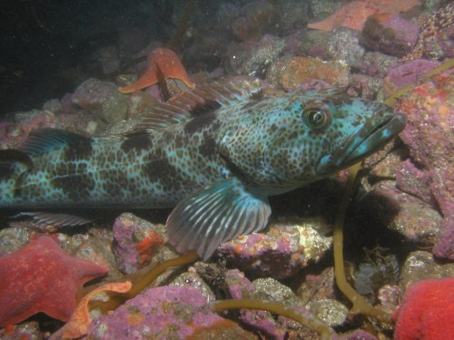 Lingcod (photo courtesy of Matt Elyash)
