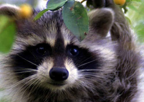 Raccoons are illegal to keep as house pets (USFWS photo)