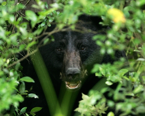 Black bear (Photo: USFWS)
