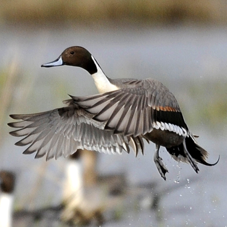 Delta Waterfowl Wallpaper Pintail (photo courtesy of