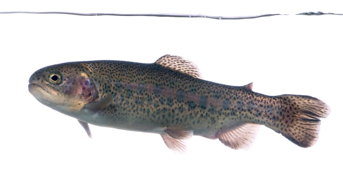Triploid rainbow trout produced at the San Joaquin Hatchery (photo by David Hunter)