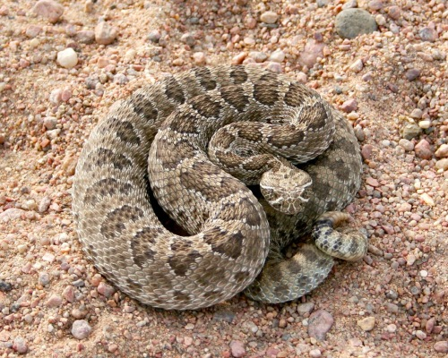 Western Rattlesnakes cannot be imported or sold in California (photo courtesy of Pete Walker, Colorado Parks and Wildlife)