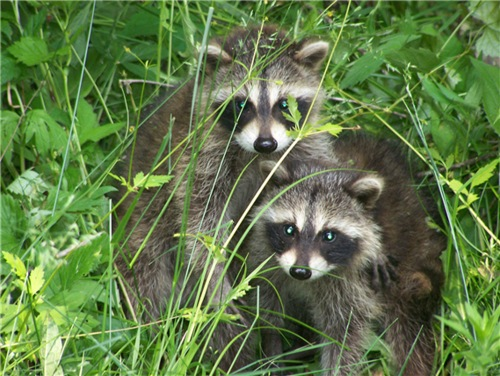 Young raccoons (Ohio DNR photo by Jerry Wilder)
