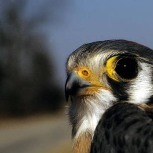 American Kestrel (USFWS photo)