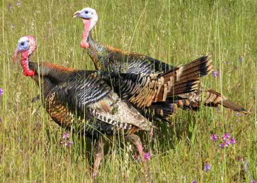 Wild spring turkeys (Photo by Carrie Wilson)