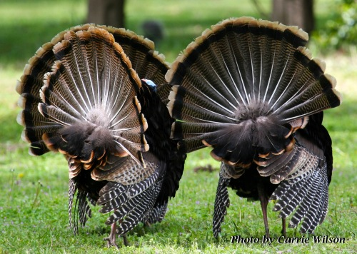 Spring turkeys (Photo by Carrie Wilson)