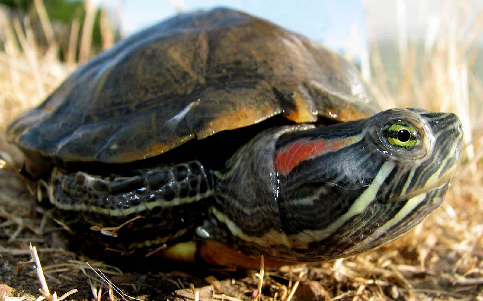 Turtles+As+Pets Why Do Turtles Sold as Pets Have a Size Limit?