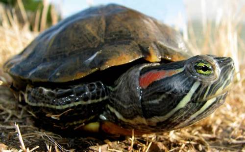 Red-eared Slider - Trachemys scripta (CDFW photo by Dave Feliz)