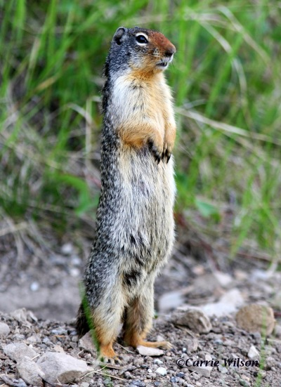 Ground squirrels may be taken at any time. However, before tossing one on the barbecue, you should be aware of the possible health dangers (Photo by Carrie Wilson)