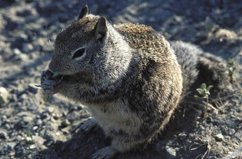 California Ground Squirrel (USFWS photo)