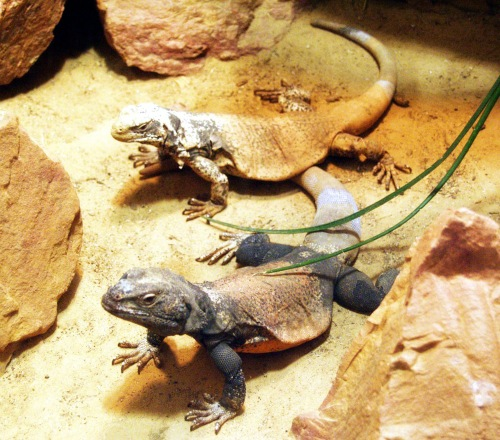 Chuckwalla lizards