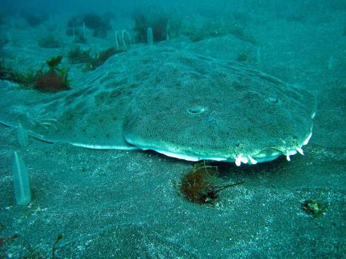 Angel Shark (Photo by CDFW Environmental Scientist Derek Stein)