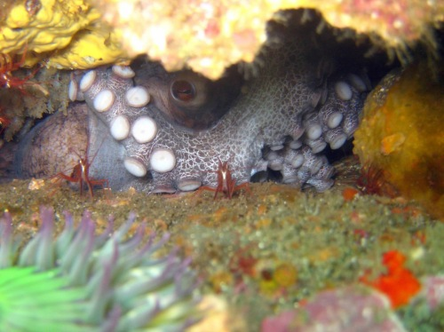 Octopus with shrimp peering out from inside a reef at Anacapa Island (CDFW photo by Derek Stein)