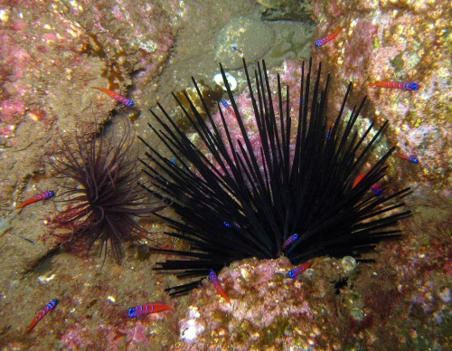 Purple sea urchins (CDFW photo by Derek Stein)