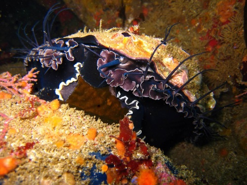 Red abalone feeding on kelp at San Miguel Island (CDFW photo by Derek Stein)
