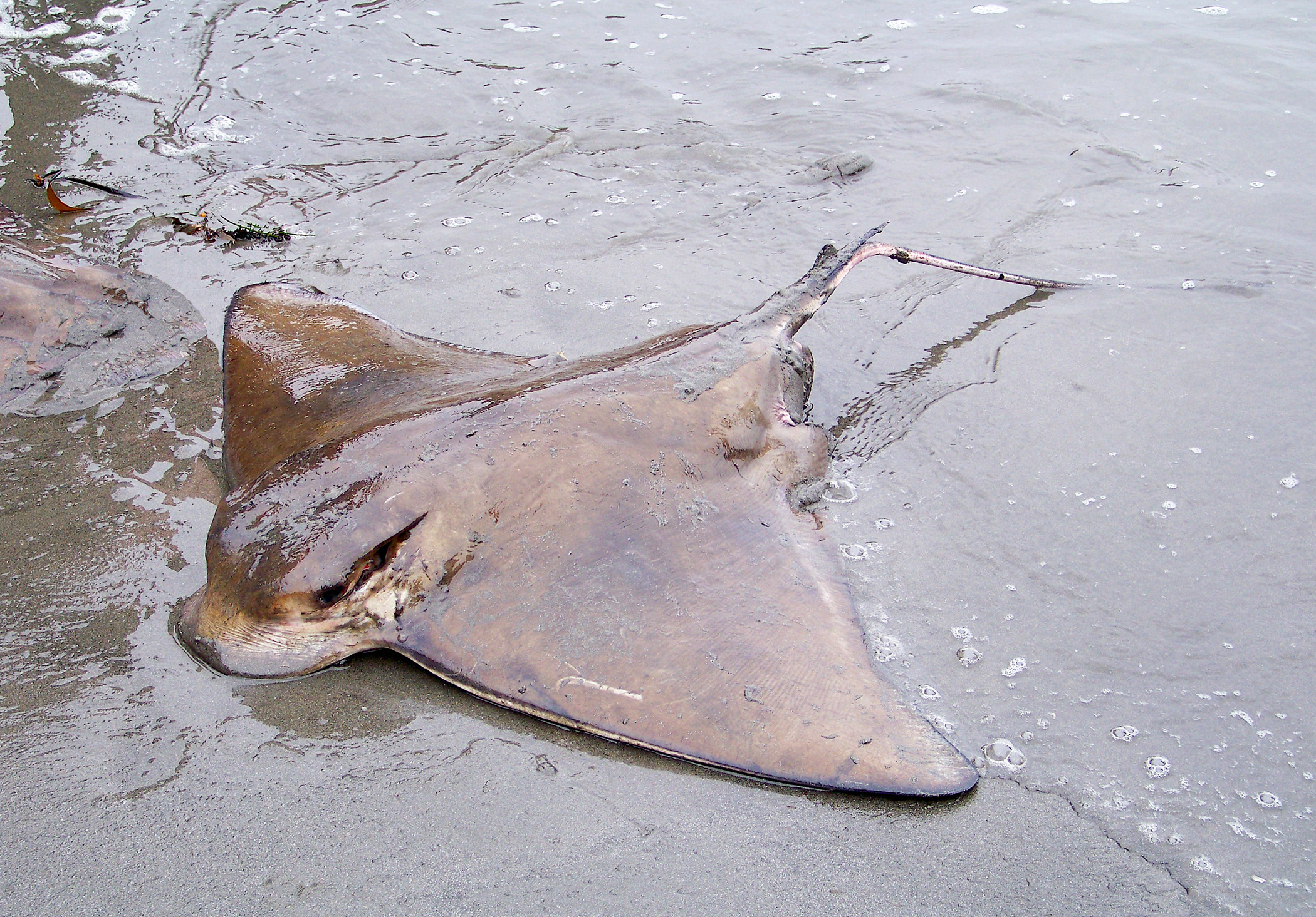 Bat rays california outdoors q and a for California fishing limits