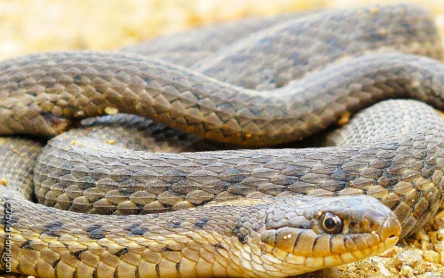 Garter snake (Photo courtesy of CDPW by David Hannigan)