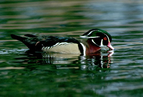 Wood duck (USFWS photo)