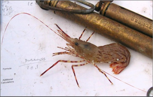 A coonstripe shrimp, Pandalus danae, caught near Crescent City, California (photo courtesy of J. Bieraugel).