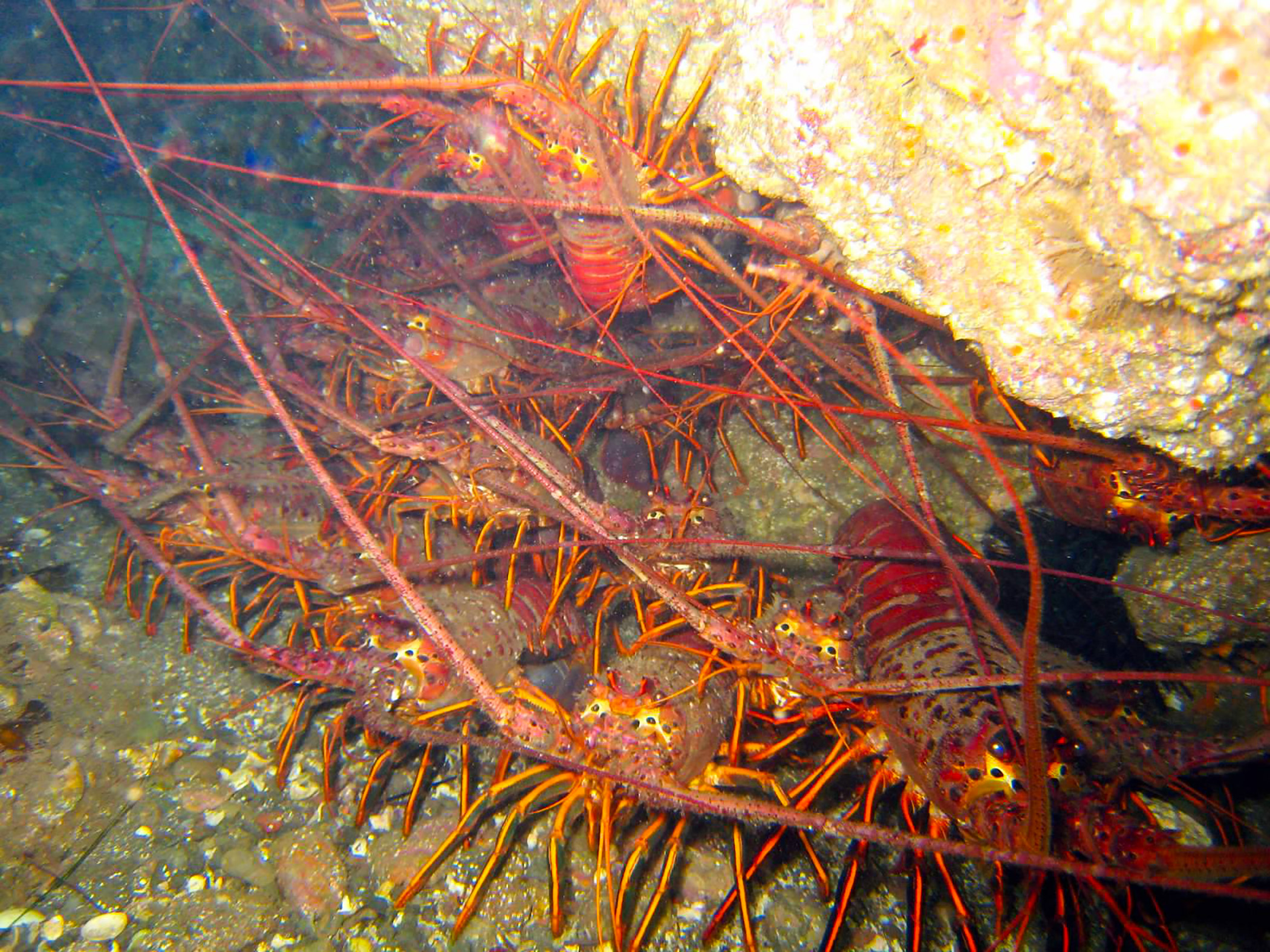 Lobsters california outdoors q and a for Lobster fishing california