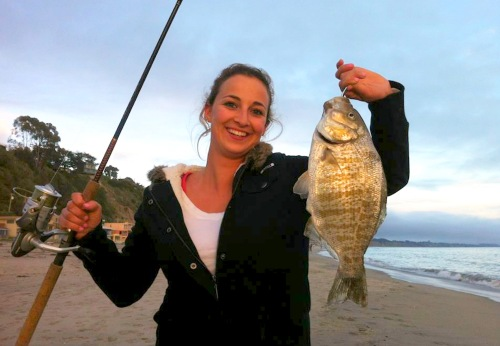 Barred surfperch give birth to live young from March through July. As few as four to as many as 113 young have been counted per female, but the average is 33. Each fry measures about 2.5 in. long at birth (Photo courtesy of Joe Donatini)
