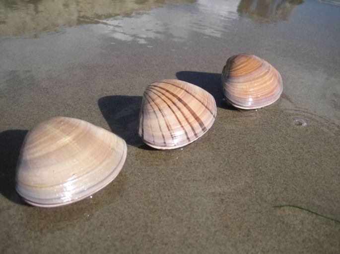 Pismo clams (Tivela stultorum) in Ventura (CDFW file photo)