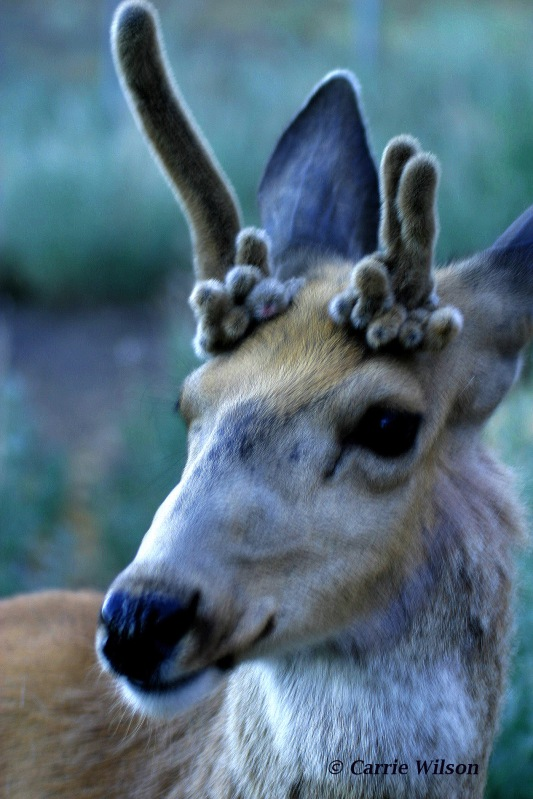 """Stags are male deer that most notably exhibit antler abnormalities, often due to hormonal changes resulting from testicular damage or caused by a birth defect known as """"cryptorchidism."""" (Photo by Carrie Wilson)"""