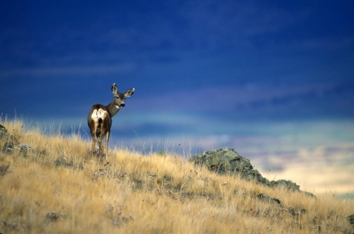 Mule deer on scenic hillside (USFWS photo)