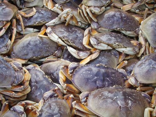 Dungeness crabs (CDFW photo by Christy Juhasz)