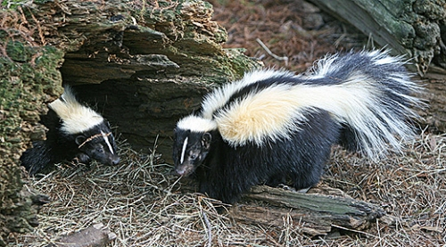 Striped skunks (USFWS photo)