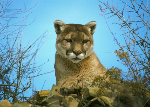 Mountain Lion (CDFW photo)