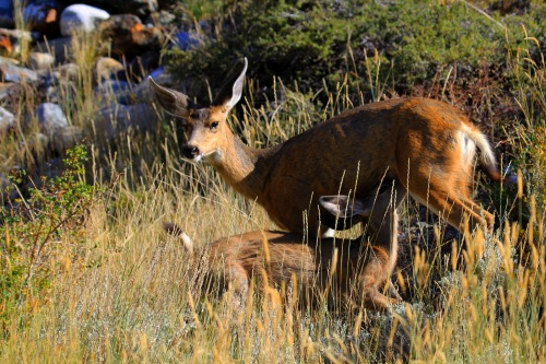 Black-tailed does with young fawns can be very protective of them when they perceive threats (even people with dogs on leashes). When this happens, they may act  quickly and aggressively to drive the threat away (Photo by Carrie Wilson)