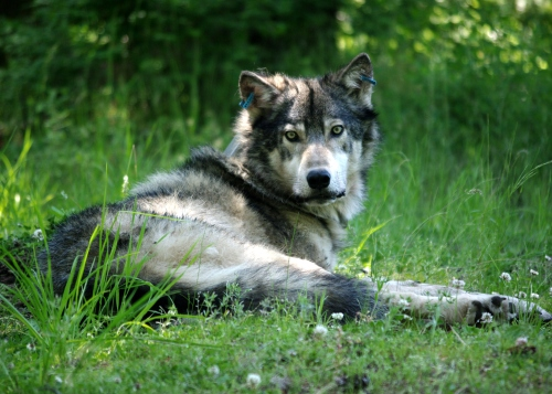 Gray wolf captured and GPS-collared by the Oregon Department of Fish and Wildlife (ODFW) (Photo courtesy of ODFW)