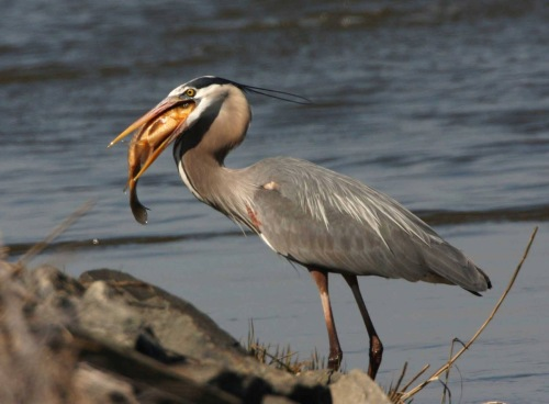 Great Blue Heron (USFWS photo)