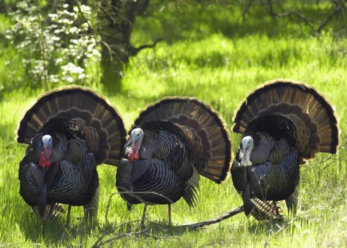 Wild Turkeys (CDFW photo)