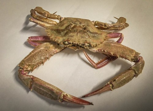 Portunus xantusii (swimming crab) has been found in recent years residing in Mission Bay, San Diego (CDFW photo by Travis Buck)