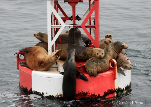 The increased abundance of pinnipeds has also resulted in a growing number of negative interactions with humans and incidents of property damage (Photo by Carrie Wilson)