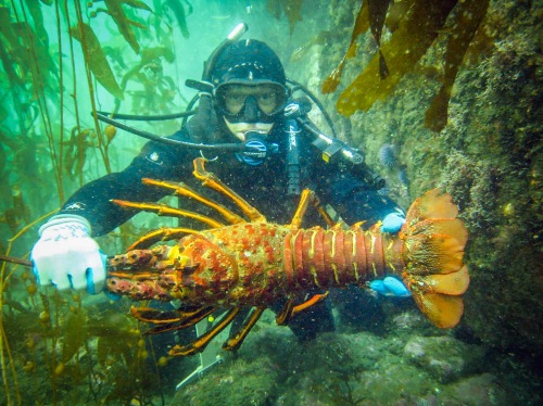 Diver with a California spiny lobster (CDFW photo by Derek Stein)