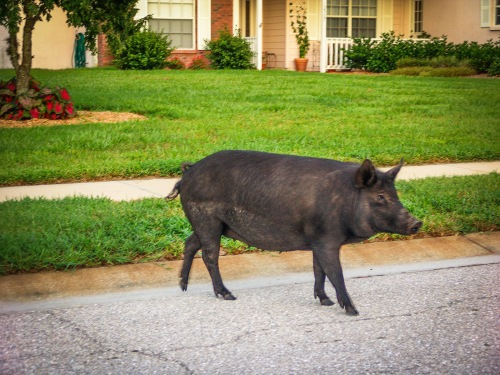 Wild pigs can cause significant damage to residential lawns and landscaping with their aggressive rooting behavior while in their quest for grubs, subterranean insects and their larvae, as well as the succulent roots of the grass they are uprooting (Creative Commons photo)
