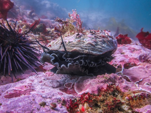 Purple sea urchins and red abalone often occur in the same locations (CDFW photo by Athena Maguire)